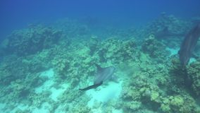 Flock of Dolphins Swims Near Divers stock footage