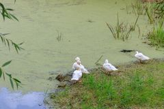 Flock of domestic ducks on the bank of the overgrown duckweed of a village pond Stock Photography