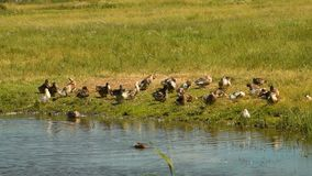 Domestic ducks by the pond. Flock of domestic ducks warming in the sun near the pond stock video