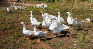 Flock of domestic geese Royalty Free Stock Image