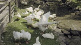 Flock of domestic geese. Domestic geese in creek. Flock of farm animals in wooden enclosure. Gaggling white gooses birds are eating feed. Countryside sunny stock footage