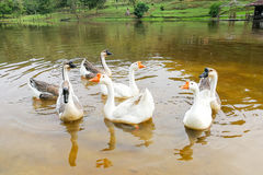 Flock of domestic geese swimming in lake Stock Images