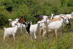 Flock of domestic goats Stock Image