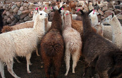 Flock of domestic llamas Royalty Free Stock Photo
