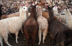 Flock of domestic llamas Royalty Free Stock Photo