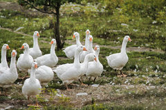 The flock Stock Images