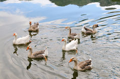 Domestic Geese Swimming in Pond Stock Images