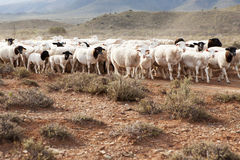 A flock of Dormer sheep walking on gravel road Royalty Free Stock Images