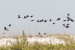 Flock of Double-crested Cormorants in Flight Stock Photography