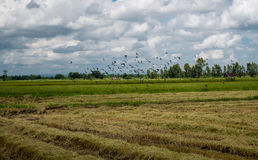 A flock of dove and mynas in rice field. stock photos