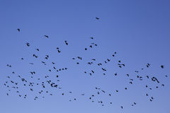 Flock of doves. A flock of doves flying in the blue sky Stock Photo