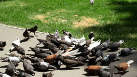 A flock of doves eat grains stock footage
