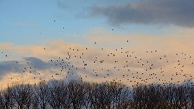 Flock of doves flying above bare winter trees on an evening sky with soft clouds. Flock of doves in flight above bare winter trees on an evening sky with soft Royalty Free Stock Photo