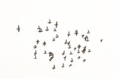 Flock of doves, isolated on white. Flock of pigeons (columbidae) in flight on white royalty free stock photos