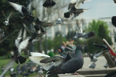 A flock of pigeons. Doves in park background royalty free stock photography