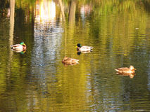 Flock of duck on the lake. Several mallard ducks swimming on the lake with beautiful reflections of trees on the surface Stock Images