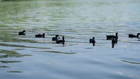 Flock Of Duck In River stock video footage