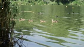 Flock Of Duck In River stock footage