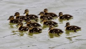 A Flock Of Ducklings. This is a Summer picture of a flock of 12 Mallard ducklings in a pond in the Montrose Beach Bird Sanctuary located in Chicago, Illinois in Stock Photography