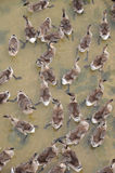 A flock of ducks Royalty Free Stock Image