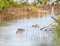 Flock of ducks. Swimming in the lagoon Stock Photos