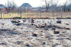 Flock of ducks in backyard of country house Royalty Free Stock Images