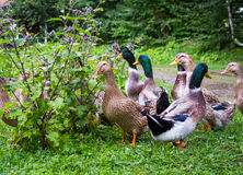 A flock of ducks and drakes at the pond in the village Royalty Free Stock Image