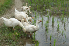A flock of ducks stock photography