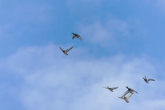 Flock of ducks in flight. Against the sky Royalty Free Stock Photos