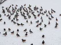 Flock of ducks. On snow in winter Royalty Free Stock Photography