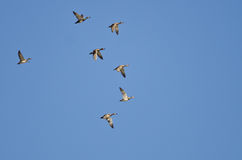 Flock of Ducks Flying in a Blue Sky Royalty Free Stock Image