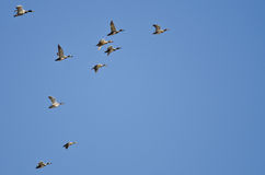 Flock of Ducks Flying in a Blue Sky Stock Photos