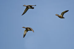 Flock of Ducks Flying in a Blue Sky Royalty Free Stock Photography