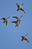 Flock of Ducks Flying in a Blue Sky Stock Images