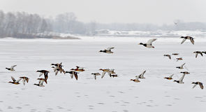flock of ducks flying over the icy river Stock Image