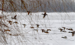flock of ducks flying over the icy river Stock Photography