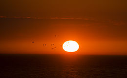 Flock of ducks is flying over the sea in background of the sunset sun Stock Image
