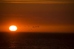 Flock of ducks is flying over the sea in background of the sunset sun. Flock of ducks is flying over the sea in the background of the sunset sun royalty free stock image