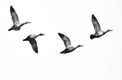 Flock of Ducks Flying on a White Background. Flock of Four Ducks Flying on a White Background Stock Photography