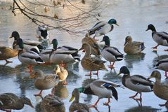 Flock of ducks. On a frozen lake in Croatia Royalty Free Stock Photos