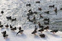 Flock ducks on frozen pond in snowy park. Wintering ducks Royalty Free Stock Photos
