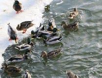 Flock ducks on frozen pond in snowy park. Wintering ducks Royalty Free Stock Photography