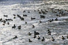Flock ducks on frozen pond in snowy park. Wintering ducks Stock Photo