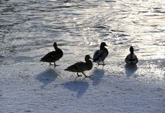 Flock ducks on frozen pond in snowy park. Wintering ducks Stock Images