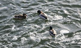 Flock ducks on frozen pond in snowy park. Wintering ducks Stock Photography