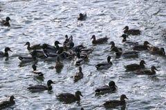 Flock ducks on frozen pond in snowy park. Wintering ducks Stock Photos