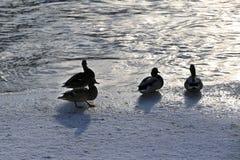 Flock ducks on frozen pond in snowy park. Wintering ducks Stock Image