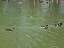 Mallard Ducks in the pond. Flock of ducks gather to mate in a pond Stock Image