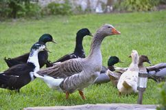 A flock of ducks and geese outdoors on grass. A flock of ducks and geese walking together outside on grass. There's a large gray goose with an orange beak and Royalty Free Stock Photo