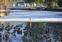 Flock of ducks and heron. Flock of ducks and gray heron on a frozen lake in Croatia Royalty Free Stock Photography